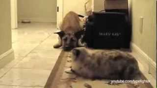 Страшнее кошки зверя нет!