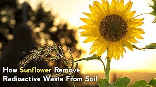 How Sunflower Remove Radioactive Waste From Soil