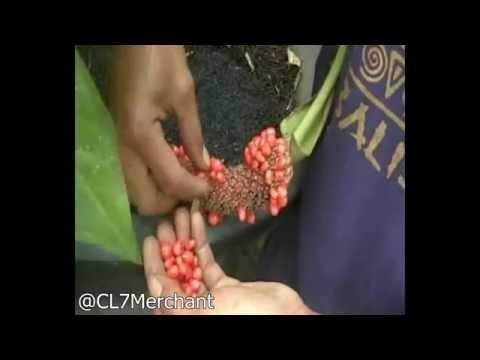 Video Pembibitan Anthurium