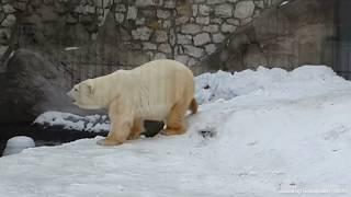 Белый медведь в Московском зоопарке