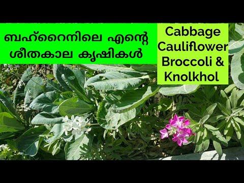 , title : 'ശീതകാല പച്ചക്കറികൾ ശീതകാലകൃഷികൾ  How to grow winter Crops Cabbage Cauliflower  Broccoli   knolkhol