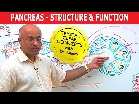 Pancreas – Structure & Function
