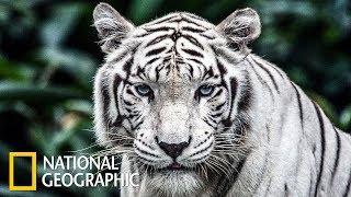 Болотные тигры (National Geographic)