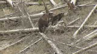 Yellowstone Grizzly Bears: A Success Story