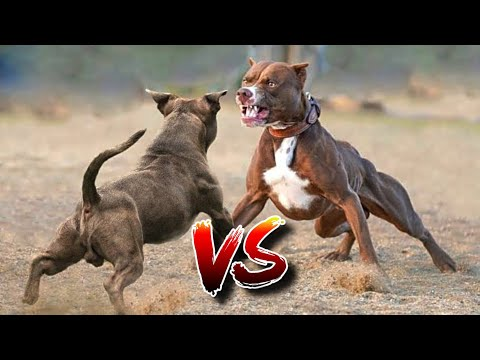 , title : '10 BEST FIGHTING Dogs In The World | Top 10 Fighting Dog Breeds