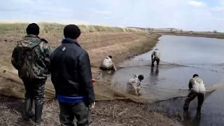 Облов пруда неводом и зарыбление нагульных прудов. Карагандинский рыбопитомник