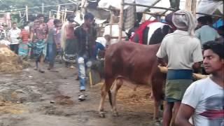 preview picture of video 'Qurbani Eid dhaka, Bangladesh - HD - Komolapure Hariana goru 2013.'