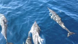 preview picture of video 'Dolphin Net Observation in Kimbe, Papua Niugini vol.2'