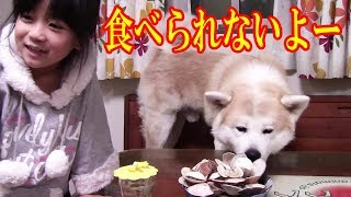 秋田犬ハマグリ食べたいなぁー大型犬日本犬