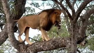 SafariLive Jan 26/27 - A tree-climbing male lion!  And a smart Leopard mom!