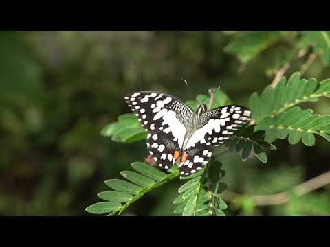 ペナンのEntopiaのアゲハチョウ Papilionidae butterflies of Entpia