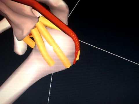「投げる」動作中、肩の内部では何が起こっているのか?