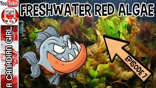 FRESH WATER RED ALGAE AND HOW TO DEAL WITH IT EP7
