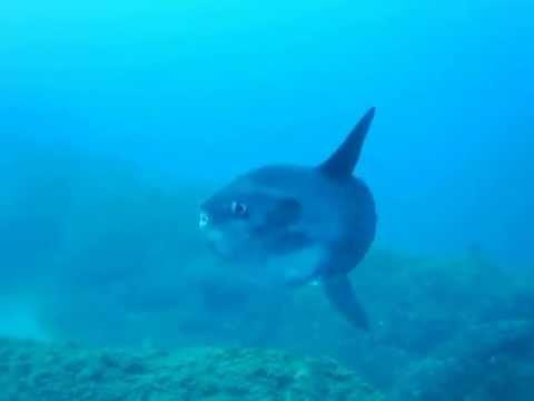 Mola mola - Corvo, Isola del Giglio