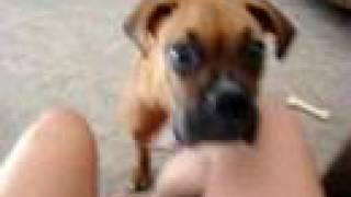 boxer puppy dog baby zoeeee