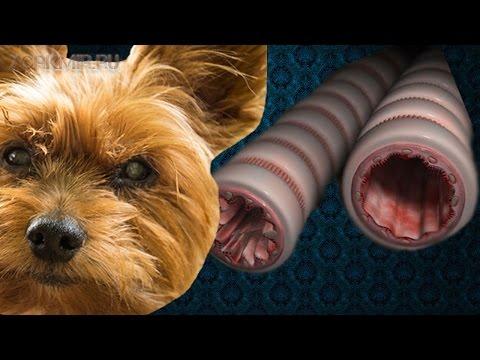 Астма у собак   Причины   Симптомы   Лечение.