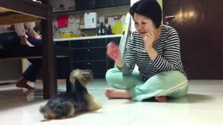 Jojo, the smart Silky Terrier!