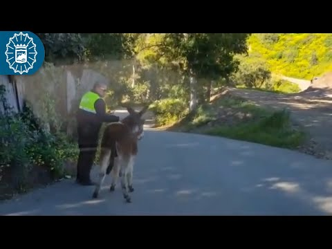 Así fue el curioso rescate de un burro por la Policía Local de Málaga