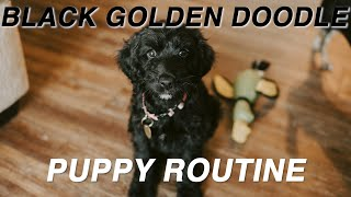 Our Puppy Routine with a Black Goldendoodle