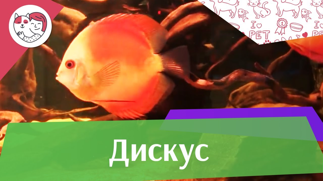 Дискус АкваЛого на ilikePet