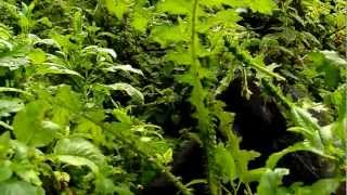preview picture of video 'Mountain gorilla encounter Volcanoes National park Rwanda Two Thirsty Travellers'
