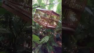 Memikat Burung Engkek Keling