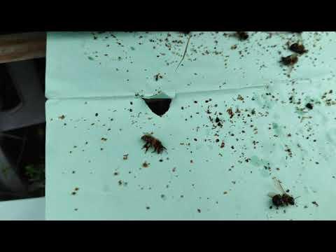 Пчеловодство.Как сыпется клещ после обработки щавельной кислоты. Итоги обработки варроатоза у пчёл.
