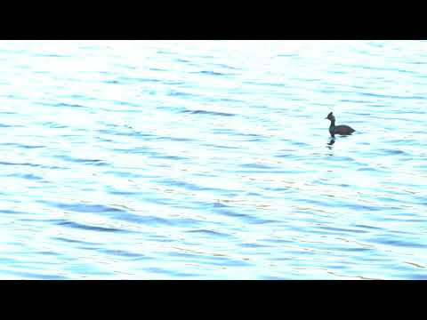 , title : '4K Grebe, two swimming in sunset on lake, zoom out  - NOT Colour Corrected
