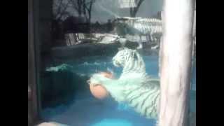 東武動物公園泳ぐホワイトタイガー