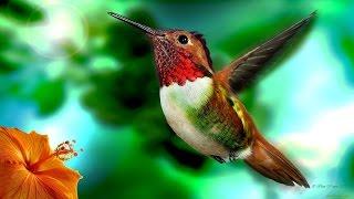 Колибри - яркие эльфы тропического леса