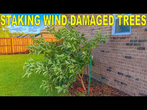 , title : 'How To Straighten A Leaning Tree Damaged In A Wind Storm