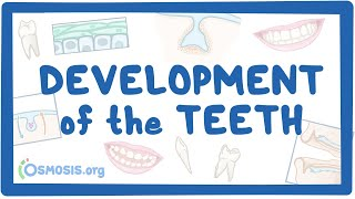 Development of the Teeth
