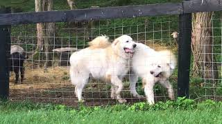 Meeting the Farm: Introducing Silas and Thor- two Great Pyrenees Livestock Guard Dogs