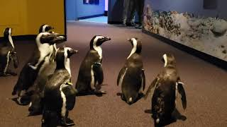 African Penguins Explore at Mystic Aquarium