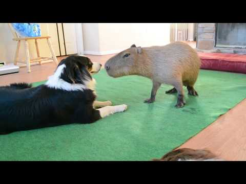 为水豚和狗狗的友谊,干杯!