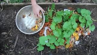 Mulchilizing Cantaloupes: fertilizing melons with kitchen scraps!