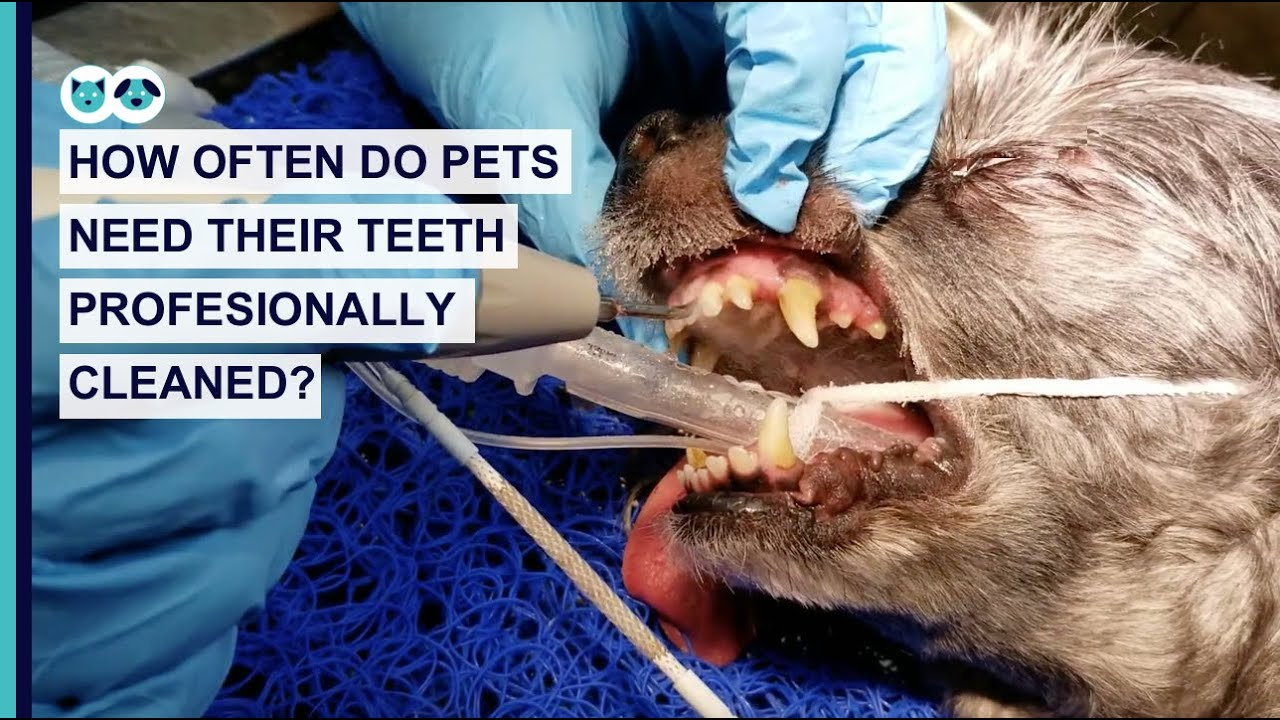 How Often Do Pets Need Their Teeth Professionally Cleaned?