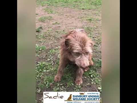 Sadie, an adopted Terrier Mix in Danbury, CT_image-1