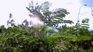 Motion Leaves Of Caesalpinia Pulcherrima In The Sunny Windy Day At The Field