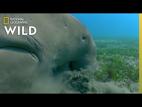 The Dugongs of the Great Barrier Reef | Great Barrier Reef