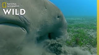 The Dugongs of the Great Barrier Reef | Great Barrier Reef by Nat Geo WILD