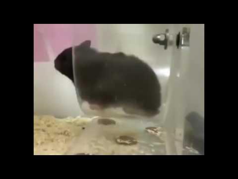 倉鼠跑步,不斷抖動Q彈肥臀超療癒!