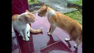 Kucing Berantem Rebutan Wilayah, Siapakah yang menang