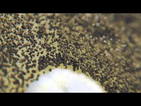 Paggamot otomycosis ekzoderilom