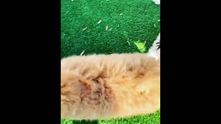 Golden Doodle Puppies Videos