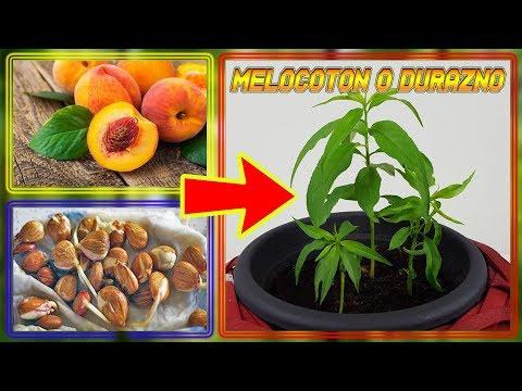 ⭕ Como Germinar Semillas de DURAZNO ( GERMINAR MELOCOTON ) | Cultivo Paso a Paso