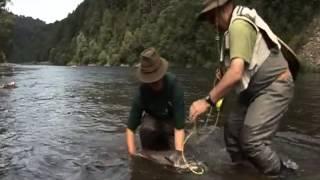 Grosse Huchen von Dunajec Fluss in Polen, Fliegenfischen auf Streamer in Juni