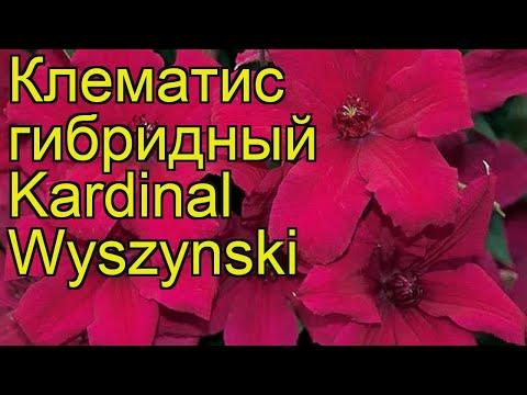 Клематис гибридный Kardinal Wyszynski. Краткий обзор, описание характеристик