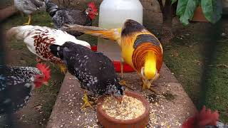NEW yellow golden pheasant eating together with the chicks