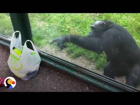 SMART Chimp Asks Zoo Visitors For Drink | The Dodo